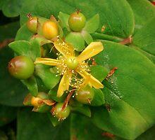 Wild yellow flower by poppyflower