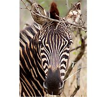 IN EYE CONTACT.... WITH THE ZEBRA Photographic Print