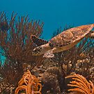Caribean Turtle by Paul Lenharr II