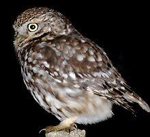 Little Owl by nickyv33