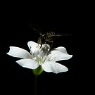 A Tiny White Bloom by swaby