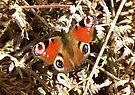 Male Peacock Butterfly by rhian mountjoy