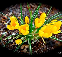 A winter aconite. by siggabach
