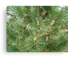Fir tree with cones Canvas Print