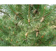 Fir tree with cones Photographic Print