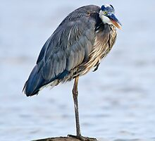 Juvenile Great Blue Heron - Ottawa, Ontario by Michael Cummings