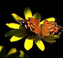 Painted Lady Butterfly by John Absher