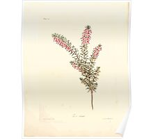 Floral illustrations of the seasons Margarate Lace Roscoe 1829 0194 Erica Carnea Poster