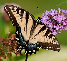 Yellow Tiger Swallowtail by Yvonne Roberts