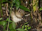 Chipmunk Eating an Ant by Barberelli