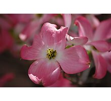 Pink Dogwood Blooms Photographic Print