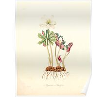 Floral illustrations of the seasons Margarate Lace Roscoe 1829 0060 Sanguinaria Grandiflora Poster