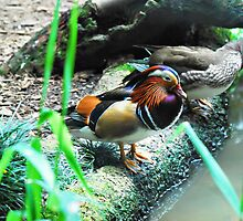 Mandarin Ducks - Male and Female by Janette Rodgers