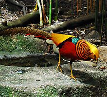 The Most Beautiful Bird in the World - The Golden Pheasant by Janette Rodgers