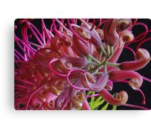 Grevillea flower close up Canvas Print