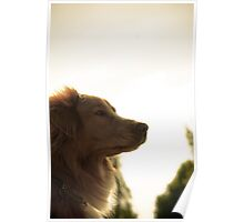Golden Sunset Toller Poster