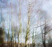 Winter Silver Birch Trees by beatrice11