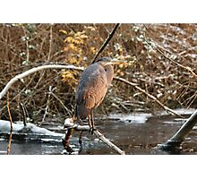 Great Blue Heron in Winter Photographic Print