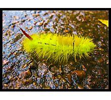 Red Tail Yellow Catapiller Photographic Print