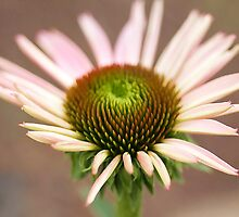 Echinacea Beautiful by Deborah  Benoit