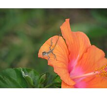 Baby lizard on orange hibiscus flower photo Photographic Print
