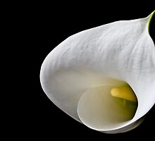 Arum Lilly II by Marcus Walters