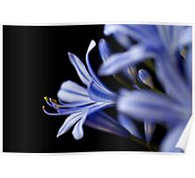 Agapanthus in Blue II Poster