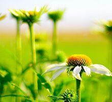 White flowers of Latvija 1 by Rita Analise Kaulina