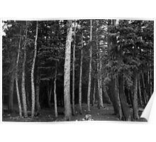Forest Tree Views in Black and White  Poster