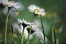 ~ Daisies~ by Lynda Heins