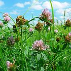 Flowering Clover In Summer-Blue Mounds State Park, Luverne, Mn by hastypudding