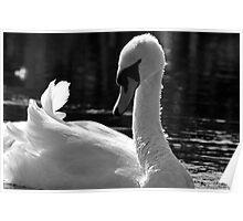 Swan beauty Poster