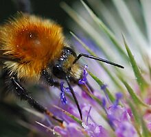 Bee and the thistle by Darren Bailey LRPS
