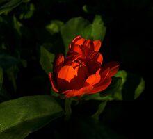 The flaming calendula by arvyart