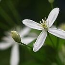 Texas Clematis by Kelly Cavanaugh