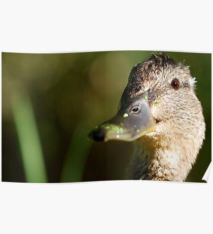 Duck poser Poster