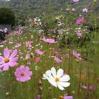 cosmos flowers by Ljikob