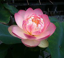 red lotus by Ljikob