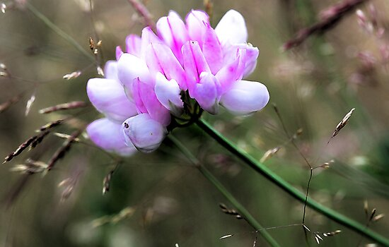 Crown Vetch - In Tall Meadow Grass by T.J. Martin
