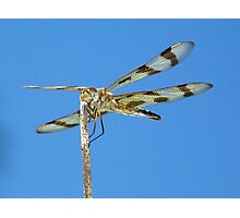 Halloween Pennant Dragonfly against the blue sky part 2.  Photographic Print