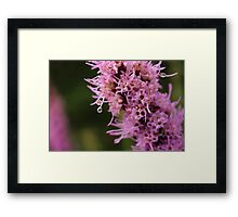 Beautiful Pink Liatris Flower with Dew Drop Framed Print