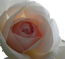 Opaque Pink Rose by MarianBendeth