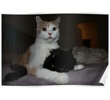 white cat licking black cat Poster