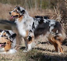 Australian Shepherd Montage by Penny Brooks