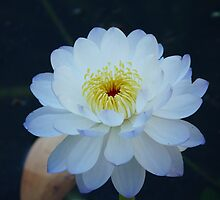 Australian Water Lily by solena432