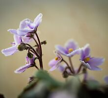 African Violets: How Long to they live for? by DonDavisUK