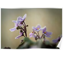 African Violets: How Long to they live for? Poster