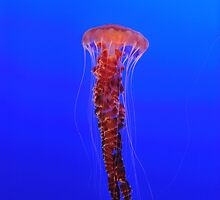 JellyFish by arifsiddiquee