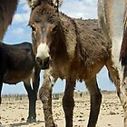 Baby Burro Looking At Me by Corri Gryting Gutzman