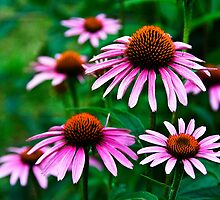 Echinacea by James Birkbeck